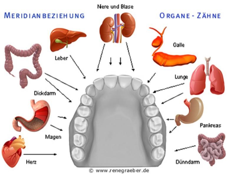 Zahn- Organ Beziehungen